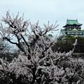 Photos: 大阪城公園の梅林2019 (4)
