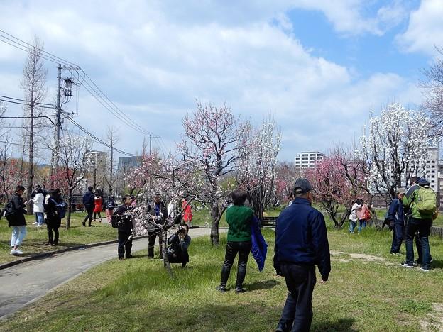 大阪城桃園 (1)