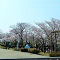 前日の風景・花園中央公園・桜広場 (2)