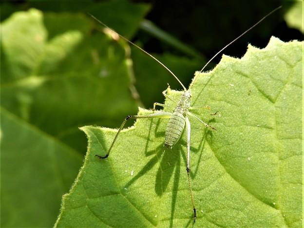 キリギリスの仲間の虫の幼虫 (1)