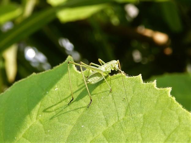 キリギリスの仲間の虫の幼虫 (2)
