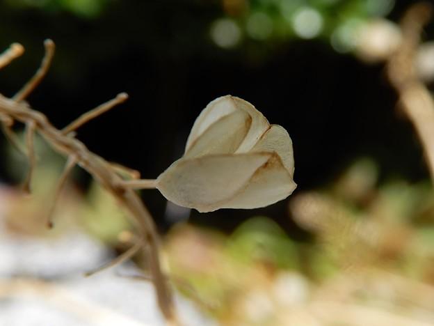 ムスカリの種苞 (1)