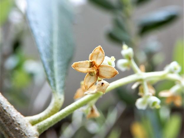 オリーブの花 (1)
