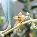 Photos: オリーブの花 (1)