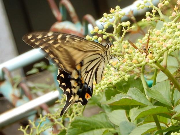 Photos: キアゲハとアシナガバチとヤブガラシ (1)