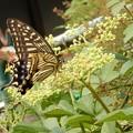 Photos: キアゲハとアシナガバチとヤブガラシ (3)