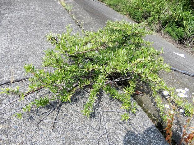 不明・シャリンバイに似ているが、葉が異なる、棘もある。 (1)