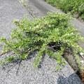 Photos: 不明・シャリンバイに似ているが、葉が異なる、棘もある。 (1)