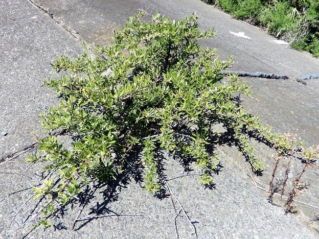 シャリンバイの実かと思った木(再訪) (2)