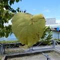 奇妙な形の実のなる木の葉 (1)
