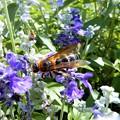 Photos: 蜂 (1)