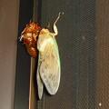 写真: 油蝉の羽化その6