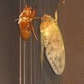 写真: 油蝉の羽化その9