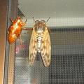 写真: 油蝉の羽化その11