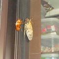 写真: 油蝉の羽化その12