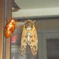 写真: 油蝉の羽化その13