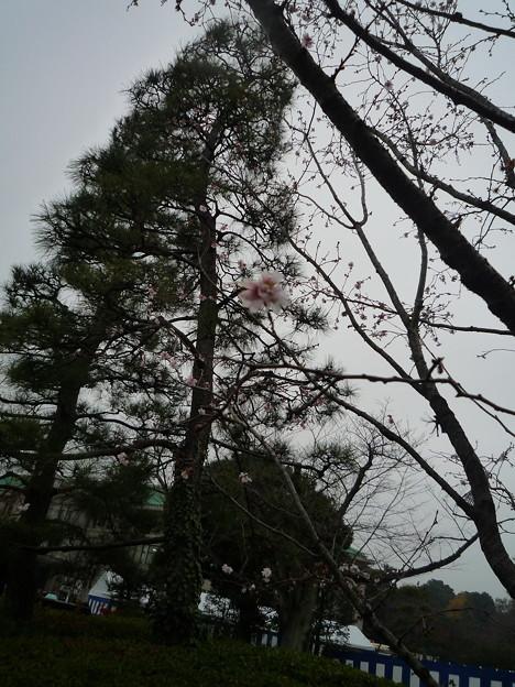 天長節に咲く十月桜