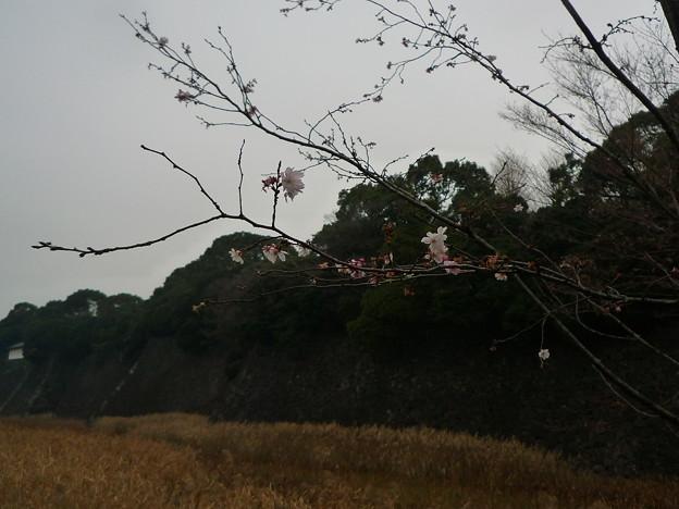 十月桜(じゅうがつさくら)