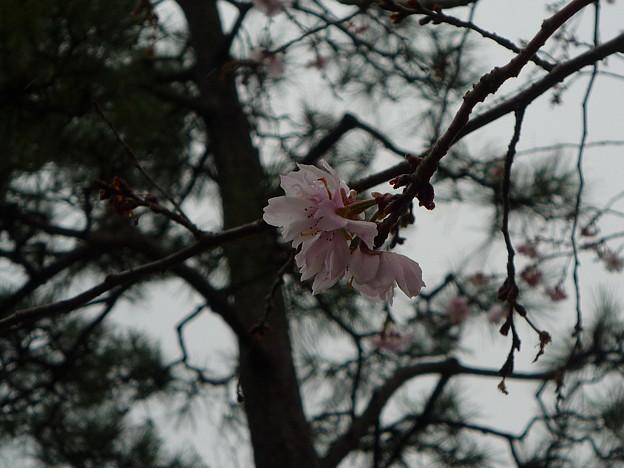 松と十月桜