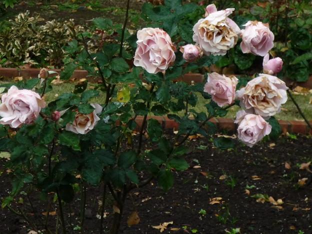 日比谷公園の薔薇