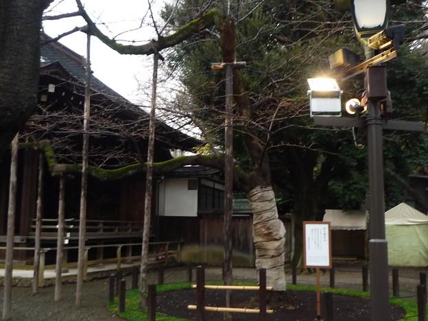 標本木となっている桜の木