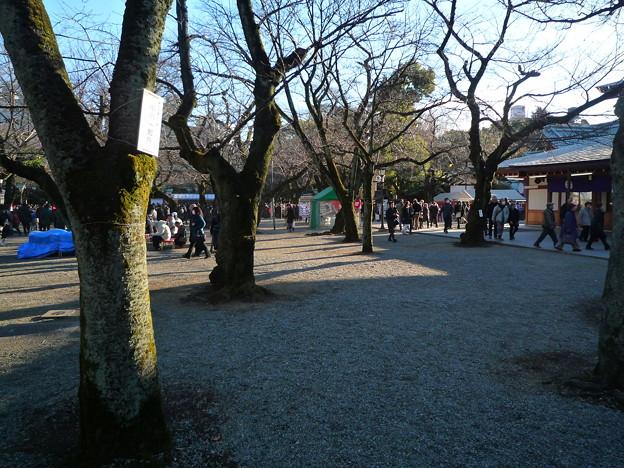 靖国神社の尊い桜