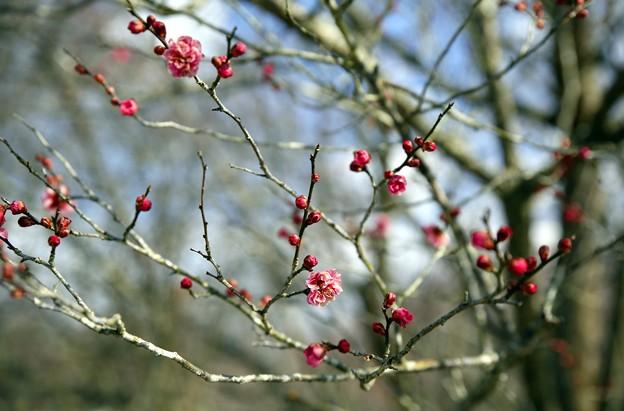 梅の花の開花宣言