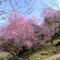 写真: 七折地区の紅梅