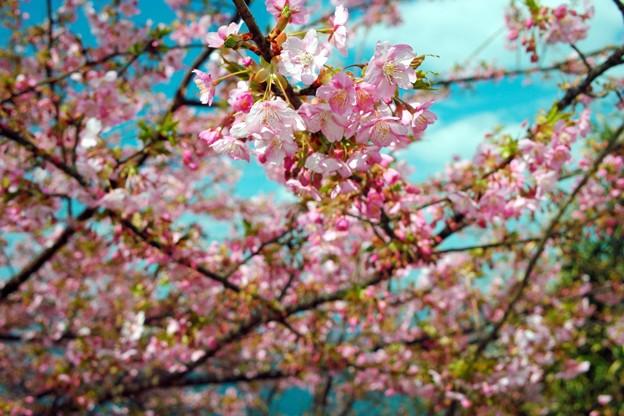 Photos: SPG河津桜が開花