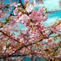 SPG河津桜が開花