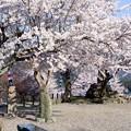 Photos: 大洲城の桜・華満開