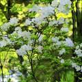 Photos: 小田深山山系に咲く