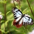 アサギマダラ(渡りをする蝶)