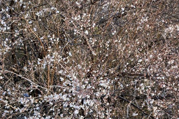 梅の古木が開花