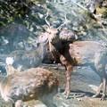 Photos: 鹿(鳥獣被害)