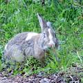 Photos: 野ウサギか?