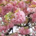 写真: 上野動物園の八重桜