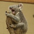 あくびコアラ