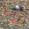 Photos: 鳩と椿