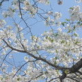 Photos: 桜花