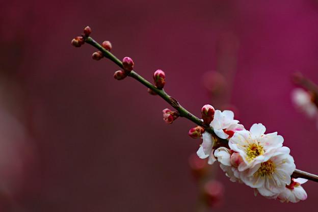 写真: 咲くには咲いたが2