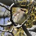 写真: ヤドリギの実を食べるヒレンジャク
