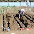 植え付け作業