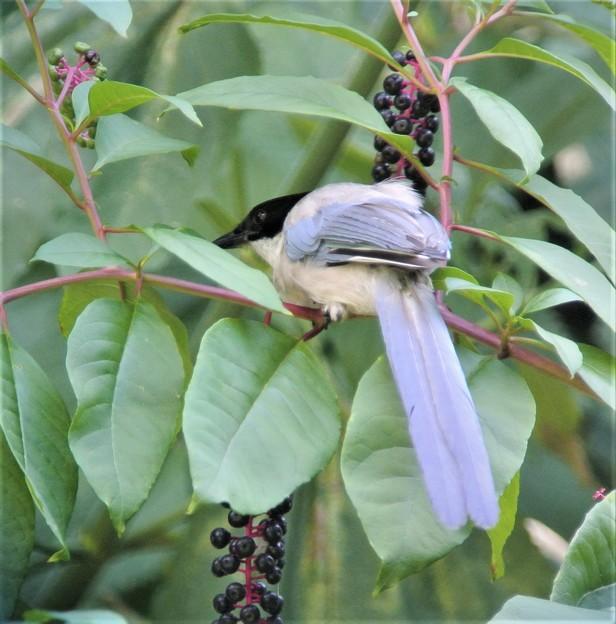 有毒植物ヨウシュヤマゴボウの実を食べるオナガ