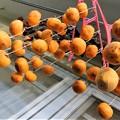 写真: 最終の干し柿