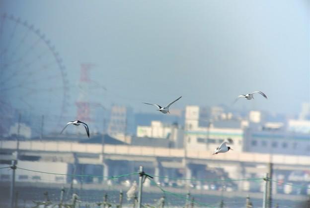 ミヤコドリ飛翔