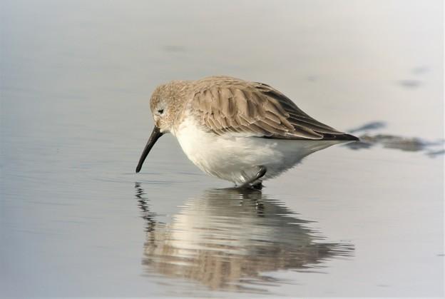 ハマシギ冬羽