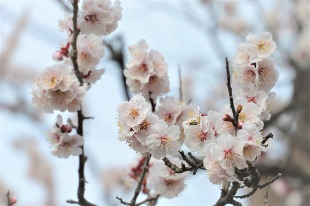 満開の梅の花