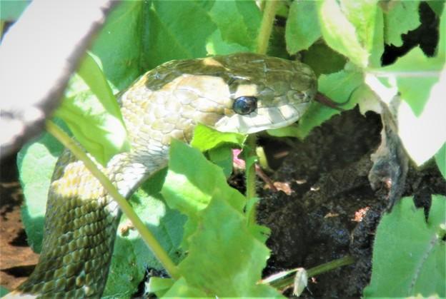 巣穴から3mの位置にアオダイショウが・・