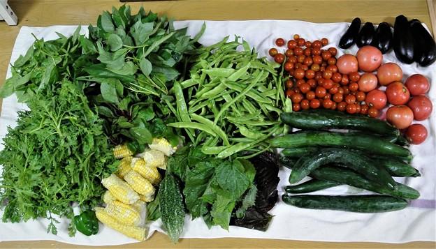 菜園・夏野菜の収穫